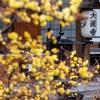 京都・岡崎 - 蝋梅の香り漂う大蓮寺