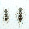 自宅周りで採集した虫たち(カミキリムシ科)