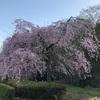 移住生活 2021年自然観察日記 ミューズパークの桜(3/29)