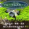 ブルーラムズホーンの飼育・繁殖・ボックスメイトに最適青い苔取り貝