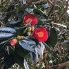 やっと咲いた藪椿