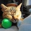 12月前半の #ねこ #cat #猫 どらやきちゃんA