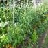トマト、枝豆だとかの夏野菜が収穫真っ最中に!