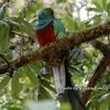 コスタリカ 火の鳥のモデル ケツァール