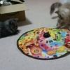 猫同士の仲良し計画その1【猫が全力で遊ぶ電動おもちゃ】