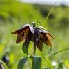 黒百合開花