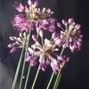 Allium pseudojaponicum