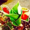 チューリップの葉っぱの成長を見守って