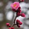 「枕草子」 木の花は、濃きも薄きも、紅梅