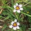 ニワゼキショウ属の花たち
