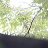 チゴモズ・サンショウクイ・コサメビタキ・チョウゲンボウなど(大阪城野鳥探鳥 20200906 5:10-12:25)