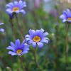 ブルーデージー ベランダの花part1