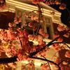 大阪の造幣局の桜の通り抜けを単焦点レンズで撮影してきた。