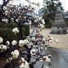 慈雲寺の盆梅が笑って、新春です。