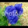 写真AC/植物雑記:No.004 トリカブト
