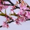 一足早い春の訪れを告げる手賀沼湖畔の河津桜