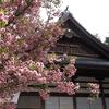 尾山神社で「菊桜」お花見