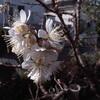 サクラ開花*