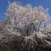 小金井公園の桜を撮りました