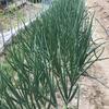 ウドの新芽、フキの収穫時期です。