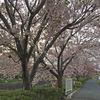 花の平田川8千歩コース