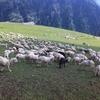 【インド】カシミール地方、羊まみれのトレッキング続編
