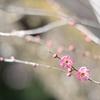 寒紅梅咲く群馬フラワーハイランド