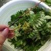 山椒の葉の佃煮(風)