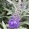 トウテイランの花