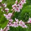 百姓日記 Vol.32 ~桃の花~