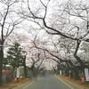 谷中の桜開花状況 満開!とネコ &根津神社つつじの開花状況 ほぼ葉っぱ 4月5日(水)2017年