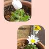 明るくなるとジワジワーと開く花