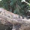森のチキン?恐竜?2種類のイグアナをご紹介。
