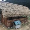 ニワトリを茅葺屋根のニワトリ小屋に移動🐓