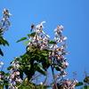 松之山の満開の桐の花にとまる鳥