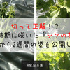 【家庭菜園】切って正解!?早い時期に咲いたシソの花を切ってから2週間の姿を公開します!