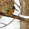 雪景色に羽ばたく 札幌でカワセミ越冬