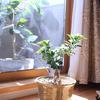 観葉植物の日光浴と夫の心配事