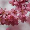 早咲きの桜♪