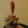 落葉したパキポディオイデスから葉が出てきた。