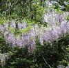 藤の花を眺めながら歩く