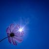 太陽とコスモスと:夢の平