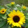 定番!ミニひまわり開花