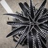 Dyckia Spino 2015