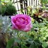 バラ、パヴィヨン ドゥ プレイニーは密やかな魅力を垂れ流す