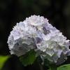 卯辰山花菖蒲園(紫陽花)
