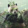 中国旅行[14]  元旦に上海動物園でパンダを独り占め