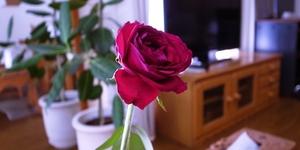 【赤いバラ】イングリッド・バーグマンはこの夏も元気です♪