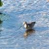 谷津干潟のオオソリハシシギ