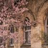 旧成徳中学校前の春めき桜を夜に@2021